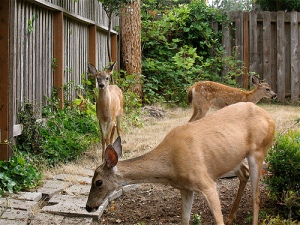 Increasing deer populations have raised the question of hunting as a viable solutions to overpopulation